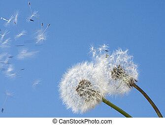 seeds of the dandelion flying away