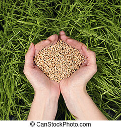 Seeds of wheat in the hands