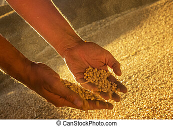 seeds., soya, mãos