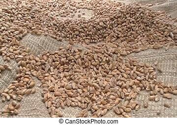 seeds -  dried wheat seeds