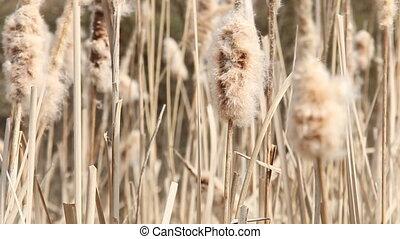 Seedy reed stalks - Seedy reed stalks. Dry reeds in...