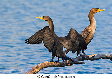 Seeing double - Double-Crested Cormorant