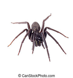 Segestria florentina - aka web or cellar spider. On hite. Facing.
