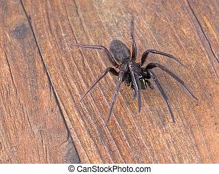 Segestria florentina - aka web or cellar spider on wooden background