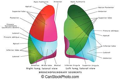 segmenty, płuco