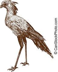 segretario, illustrazione, disegno, incisione, uccello