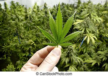 segurando, pequeno, mão, folha marijuana