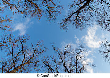 sehen aufwärts, der, eiche, bäume, in, winter