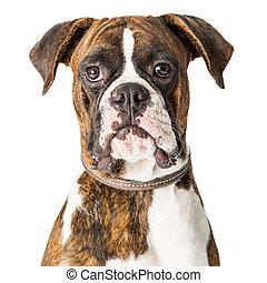 sehen vorwärts, boxer, closeup, hund