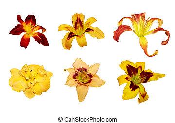 sei, giglio giorno, fiori