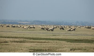 sel, pâturage, sheeps, marais, été, normandie, troupeau