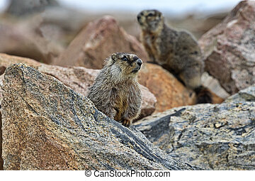 Selected focus on foreground yellow-bellied marmot of pair visible on rocks along scenic Beartooth Highway, north of Yellowstone National Park