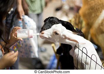 Selected focus on milk bottle little girl feeding a goat