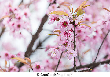 selected focus on the close-up of Cherry blossoms in full bloom, in blur of pink flower on background