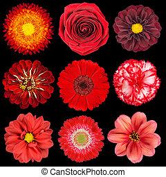 selectie, van, gevarieerd, rode bloemen, vrijstaand, op, black