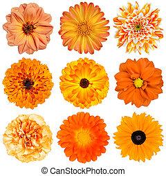 selectie, van, oranje bloemen, vrijstaand, op wit