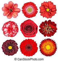 selectie, van, rode bloemen, vrijstaand, op wit