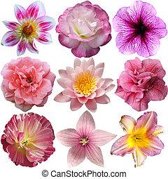 selectie, van, rose bloemen, vrijstaand, op wit
