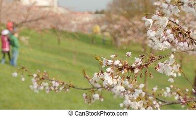 selectief, bloeien, brandpunt, achtergrond., boom., sakura,...