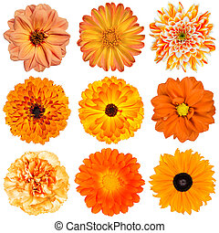 Selection of Various Orange Flowers Isolated on White Background. Dahlia, Daisy, Chrysanthemum, Pot Marigold, Carnation