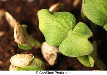 selective Close-up of green seedling. Green pumpkin plants growing from seeds in ground