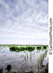 selective focus and blurred image group of green paddy sprout ready to plant. cloudy cloud and blue sky. reflection on the water surface