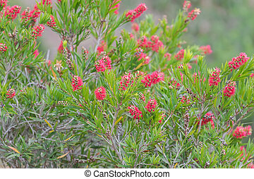 Bottle brush flowers (Callistemon) in red color blossoming in the garden