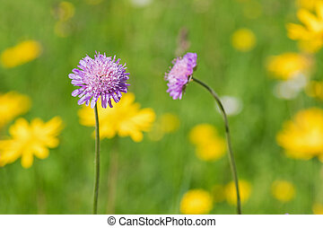 Field scabious flower blossoming in the yellow green meadow surrounded by other colorful spring flowers