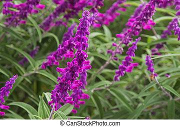 Mexican bush sage flowers (Salvia leucantha) in purple shade...