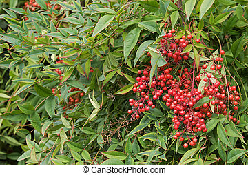 Sacred bamboo with red berries also known as heavenly bamboo...