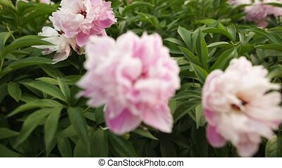 Selective focus on pink peonies blossom on the flower garden of the botanical garden.
