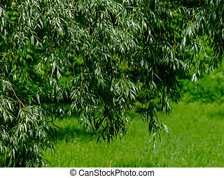 Selective focus on the leaves of a weeping willow on a background of green grass