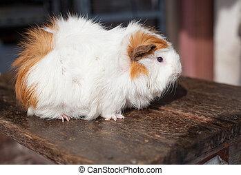 selective focus on white, black, orange brown guinea pig...