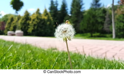 Selective focus on white fluffy dandelion flower swinging with the wind in a park. Summertime in the meadow.