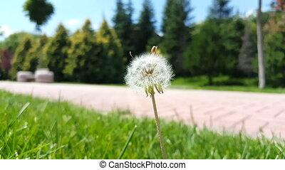 Selective focus on white fluffy dandelion flower swinging ...