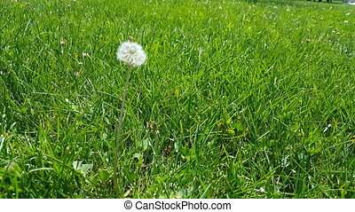 Selective focus on white fluffy dandelion flower swinging with the wind on green grasses. Summertime in the meadow.