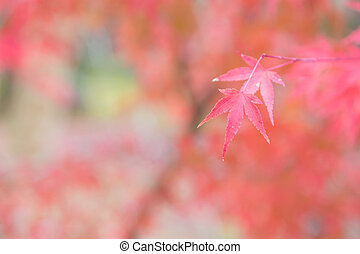 Selective focus, red maple leaves