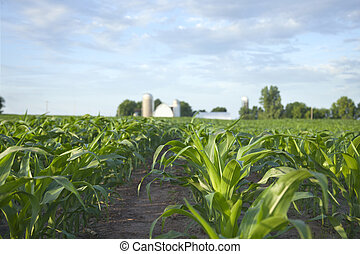 Selective focus, low angle view of a cornfield and farm on a sunny morning