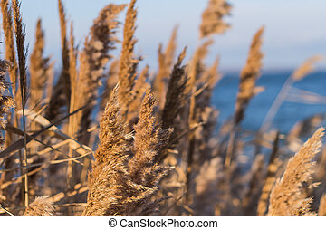 Selective soft focus of beach dry grass, reeds, stalks blowing in the wind at golden sunset light, horizontal, blurred sea on background, copy space/ Nature, summer, grass concept