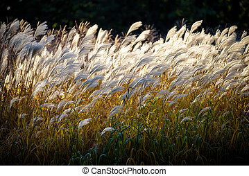 Selective soft focus of beach dry grass, reeds, stalks blowing in the wind at golden sunset light, horizontal, blurred sea on background, copy space Nature, summer, grass concept