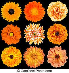selekce, o, rozmanitý, pomeranč květovat, osamocený, dále, čerň