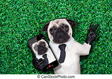 selfie pug dog - pug dog taking a selfie on grass or meadow...