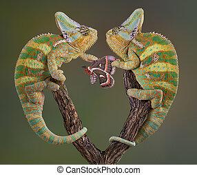 Selfish Chameleons - Two veiled chameleon brothers and ...