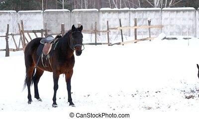 sellé, brun, marche, hiver, chevaux, enclos, ouvert