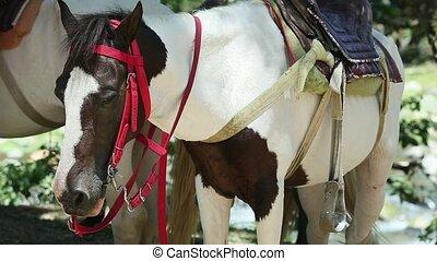 sellé, chevaux, conjugal, blanc, deux, closeup, reposer, ...