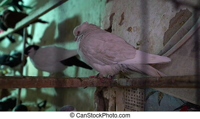 Selling pigeons in the market - A medium shot of pigeons...