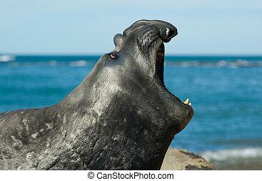 selo elefante, em, península, valdes, patagonia.