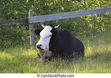 selský, ohradit, farma, kráva