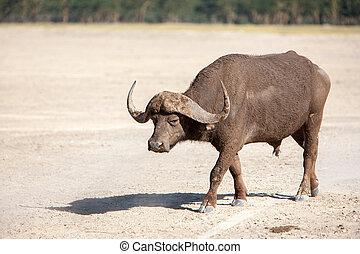 selvagem, africano, buffalo., kenya, áfrica