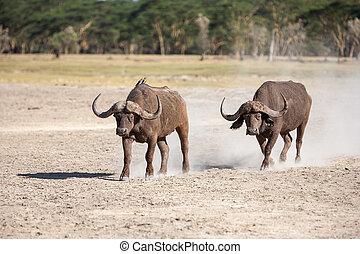 selvagem, africano, buffalo.kenya, áfrica